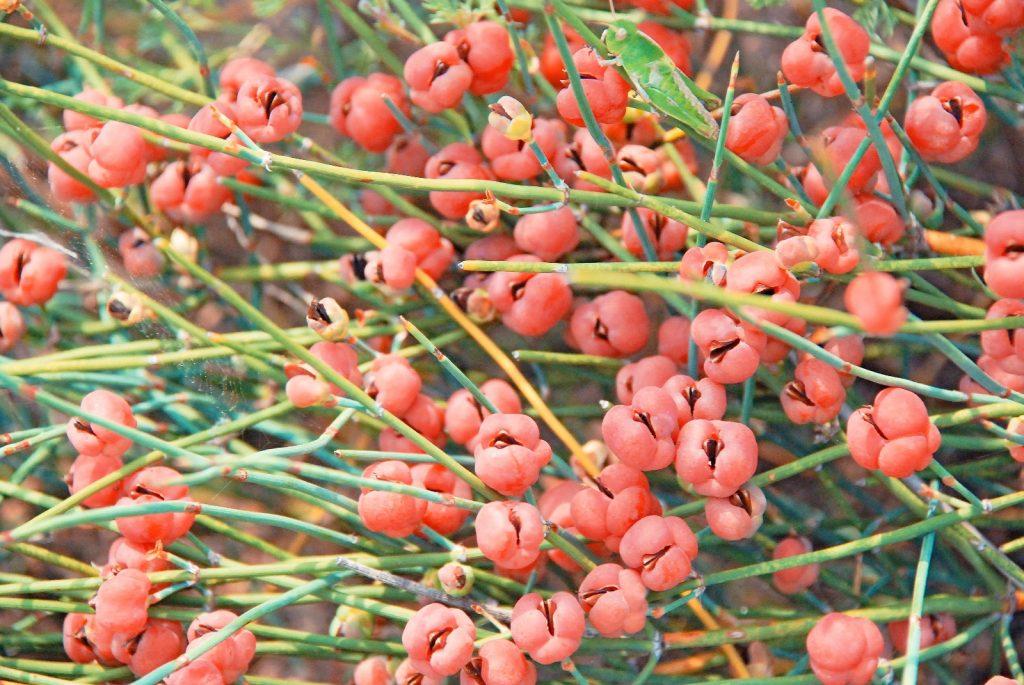 Hình ảnh cây Ma Hoàng