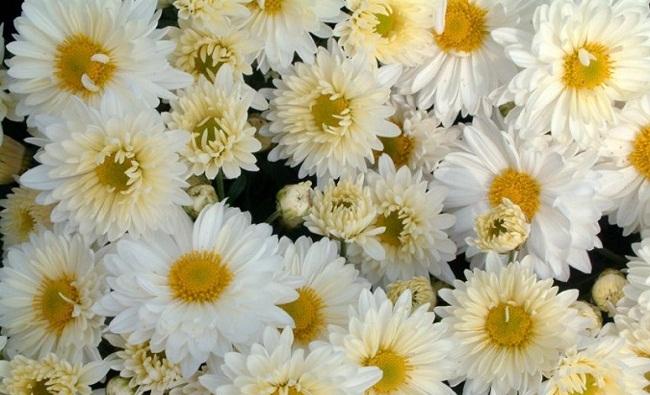 Hình ảnh cây cúc hoa trắng
