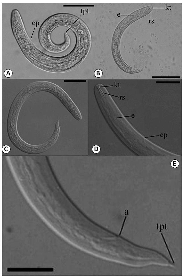 Hình ảnh giun lươn