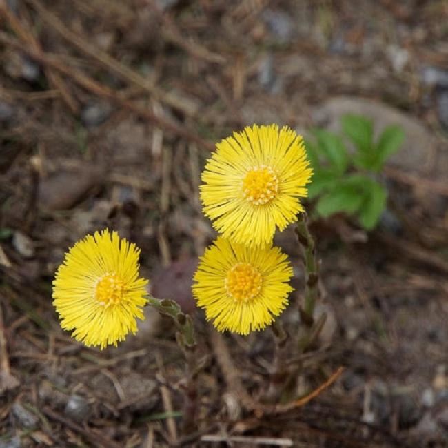 Hình ảnh Khoản đông hoa