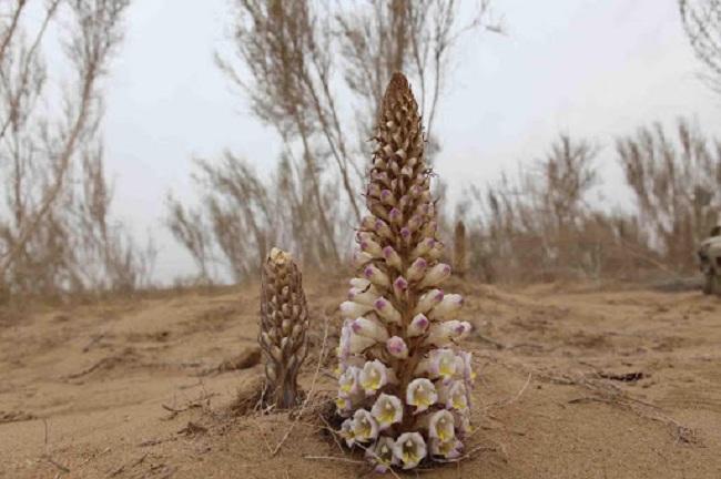 Hình ảnh cây hoa nhục thung dung